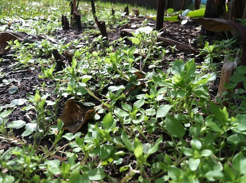 Cheers for Chickweed!!! Click through to learn all about this nutritious garden weed and get a free recipe!