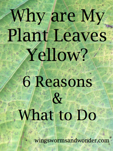Why are My Plant Leaves Yellow? 6 Reasons