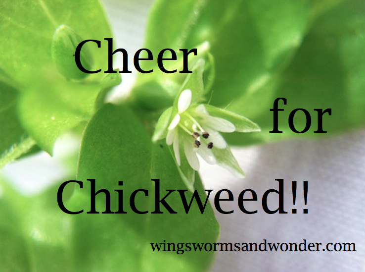 chickweed graphic