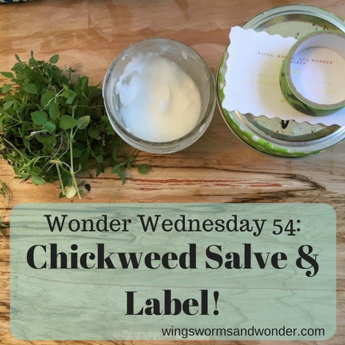Spring is just around the corner and that means that chickweed is about to burst! Join Wings, Worms, and Wonder and make a Wonder Wednesday chickweed salve!
