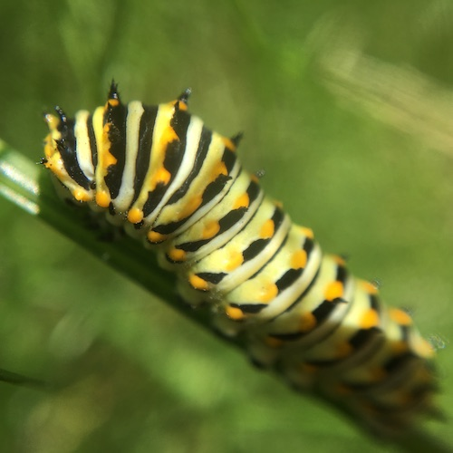 Raise a caterpillar and hatch a butterfly! Click to learn more about the caterpillar stage of the lifecycle with Wings, Worms and Wonder!
