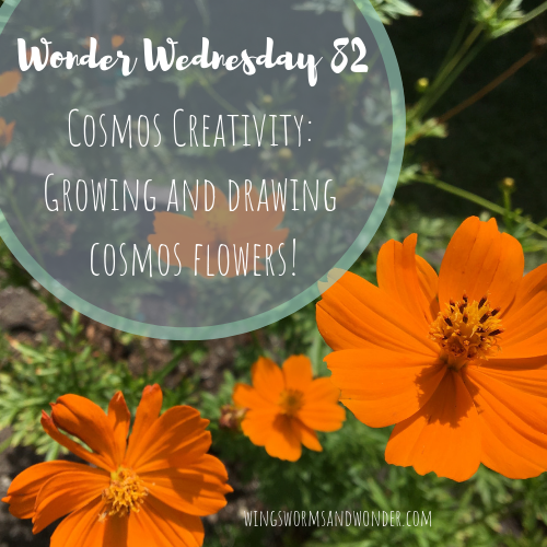 Learn to grow and draw cosmos flowers! Click to get your Wings, Worms, and Wonder how to!