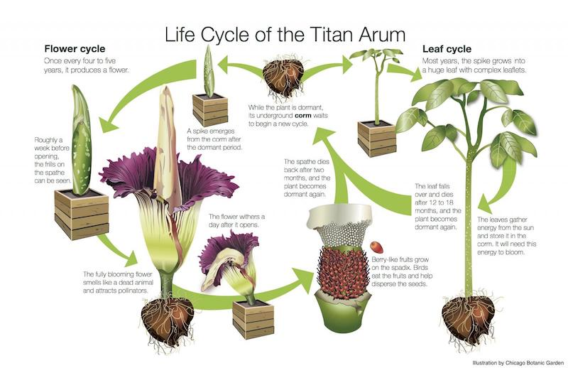 Draw a corpse flower for Halloween with Wings, Worms, and Wonder! Click to learn how and discover more about this unique botanical species!
