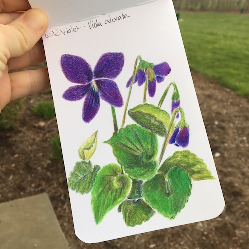 Make your own wild violet syrup in this week's Wonder Wednesday 94 activity! Click to get the Wings, Worms, and Wonder recipe!